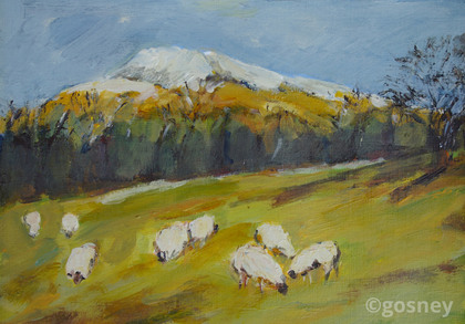 Medium grazing sheep clun hill 13